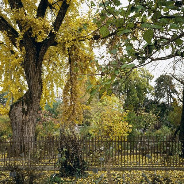 Ginkgo biloba L. in autunno - Crediti: Orto Botanico