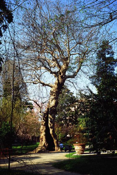 Platanus orientalis L. - Crediti: Orto Botanico