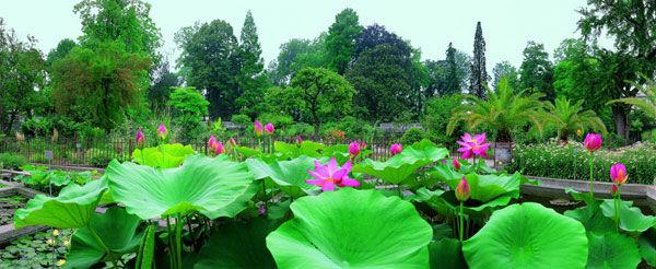 Fioritura del fior di loto - Crediti: Orto Botanico